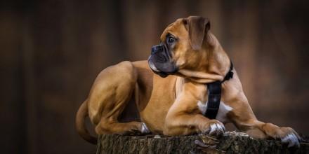 Гладкошерстные породы собак – большие и маленькие с фото и описанием