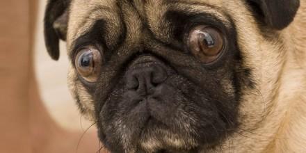 Почему у мопсов выпадают глаза – что такое проптоз глазного яблока