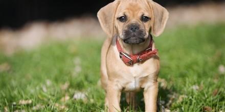 Порода собак Пагль – описание, характеристики, уход, воспитание