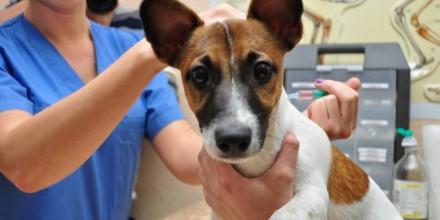 Лишай у собаки: как выглядит и чем лечить