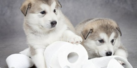 Как приучить щенка к туалету?
