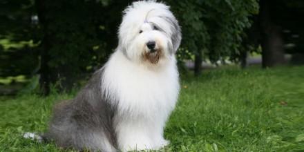 Собака Бобтейл – описание породы, стандарты и особенности воспитание, уход