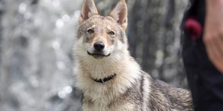 Гибрид волка – виды и описание породы, характеристики, мифы