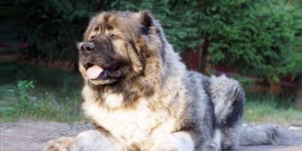 Характер кавказской овчарки – плюсы и минусы породы