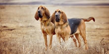 Гончие породы собак – перечень и описание пород, фото