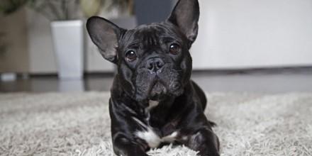 Породы собак для квартиры — топ 10