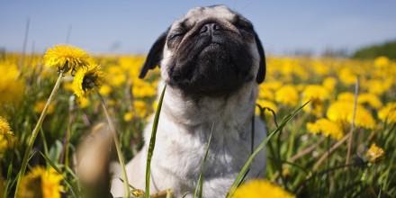 Аллергия у мопса – причины возникновения, проявление, диагностика, лечение