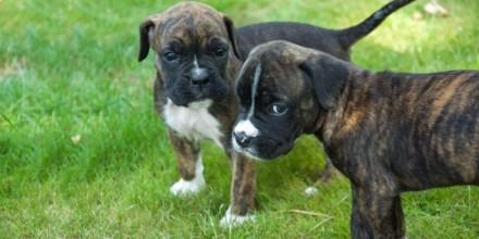 Мини боксер – породистая собака или дворняжка