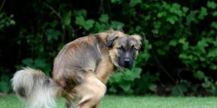 Понос у собак: причины и пути лечения