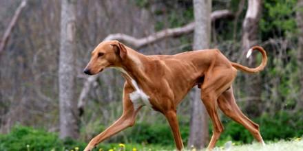 Борзые собаки – охотники для спортивных забегов