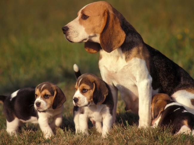 бигль цена щенка