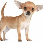 цена на щенка чихуахуа