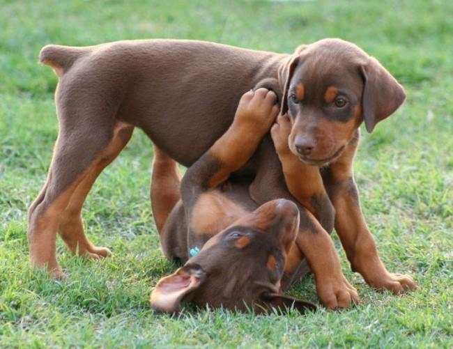 цена на щенков породы доберман