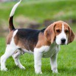 характеристика собаки бигль