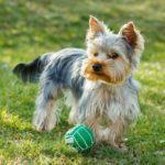 как воспитывать йоркширского терьера щенка