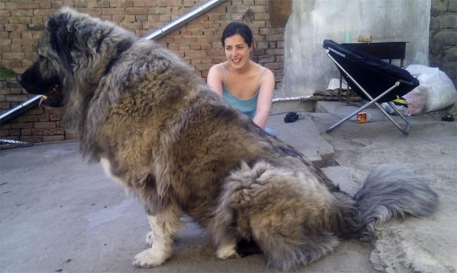 самая большая кавказская овчарка
