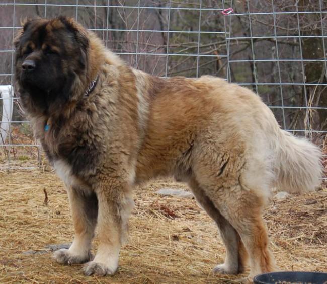 сколько стоит щенок кавказской овчарки