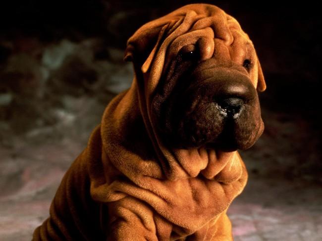сколько стоит щенок шарпея