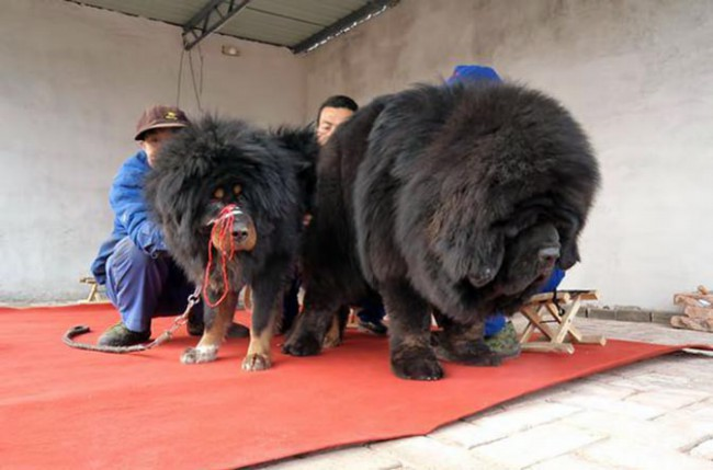 тибетский мастиф показать взрослую собаку
