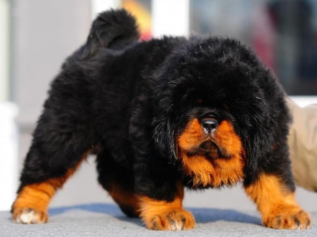 сколько стоит щенок тибетского мастифа