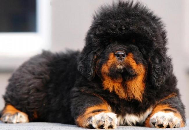 цена на щенка тибетского мастифа