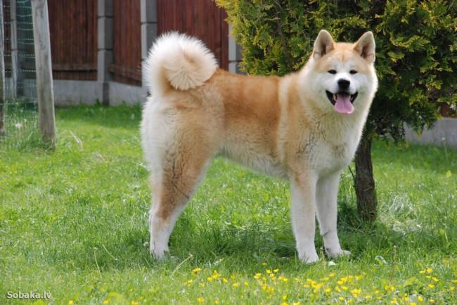 Японская порода собак акита ину