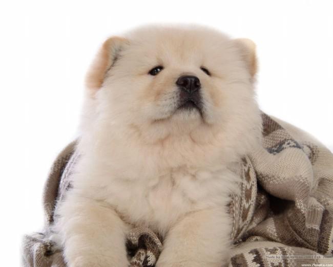 цена на щенка чау-чау