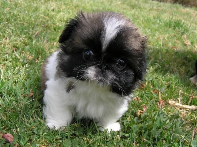 королевский пекинес фото щенки