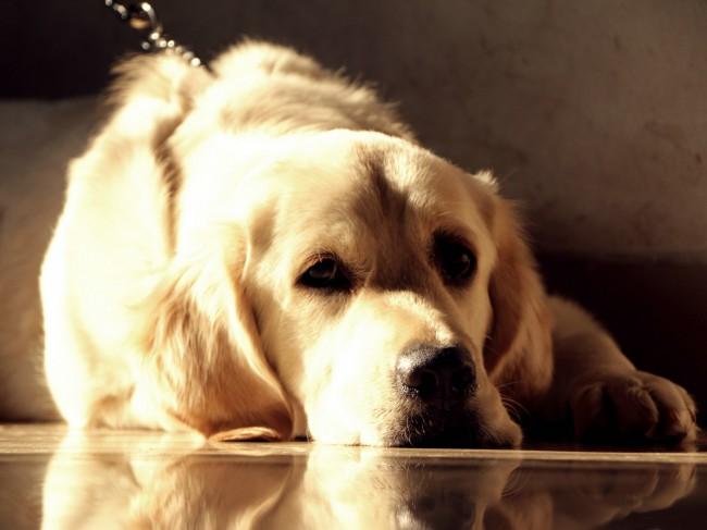 где купить щенка золотистого ретривера