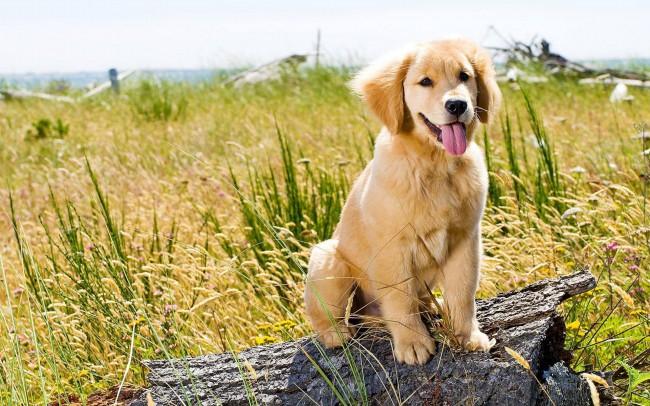цена на щенка золотистого ретривера