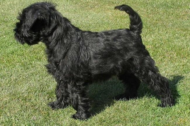 маленькая порода собак аффенпинчер