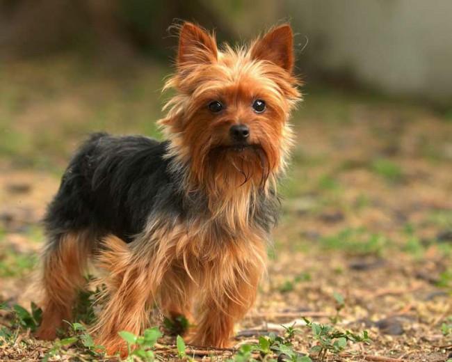 маленькая порода собак йоркширский терьер