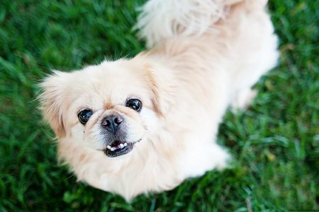 маленькая порода собак пекинес