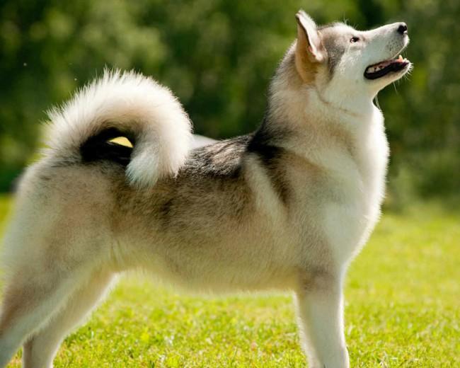 внешний вид собаки аляскинский маламут