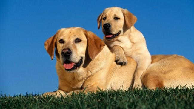 щенок со взрослой собакой