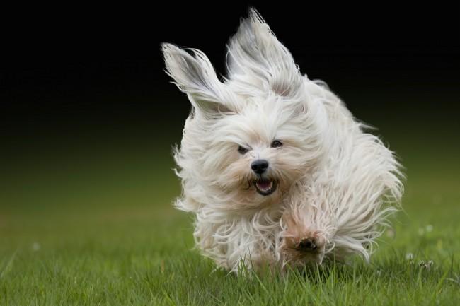 Дрессировка собаки породы Бишон Фризе