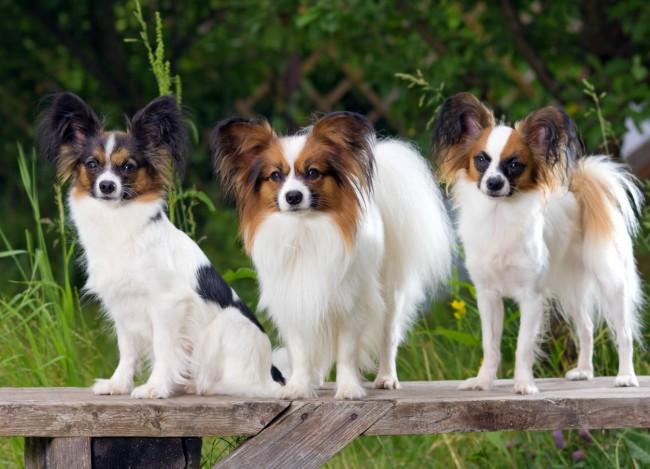 дрессировка породы собак папильон