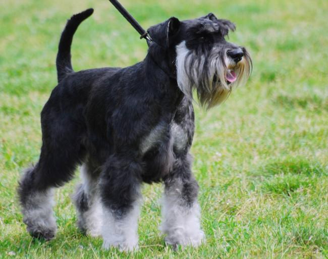 содержание породы собак цвергшнауцер