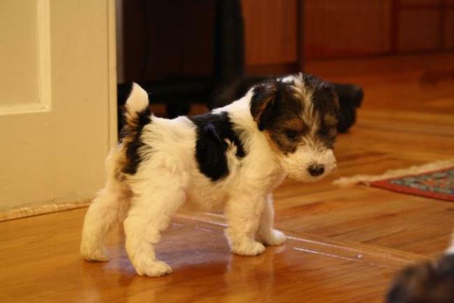 фото щенка фокстерьера