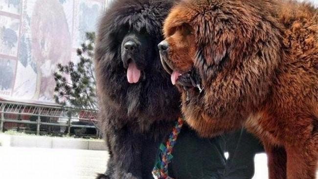 тибетский мастиф фото