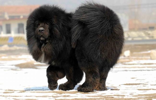 порода тибетский мастиф