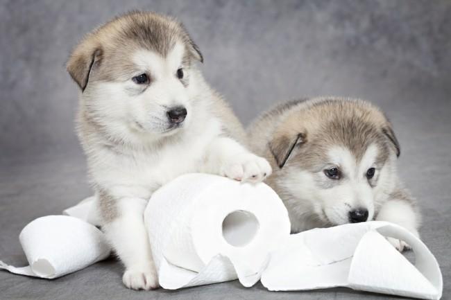 С какого возраста приучать щенка к туалету