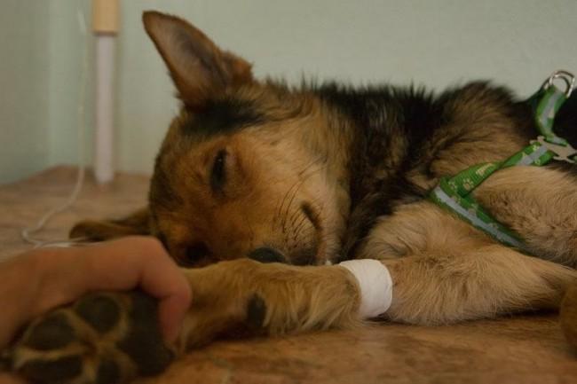 парвовирусный энтерит у собак фото