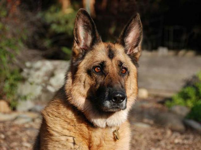 Как назвать щенка немецкой овчарки Имя для щенка немецкой овчарки
