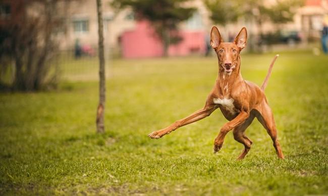 Фараонова собака фото
