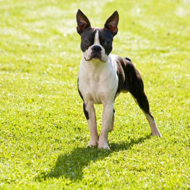 сторожевые собаки небольших размеров
