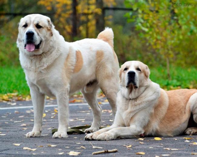 Алабай фото собаки