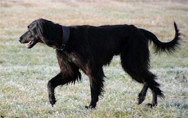 Тайган фото собаки