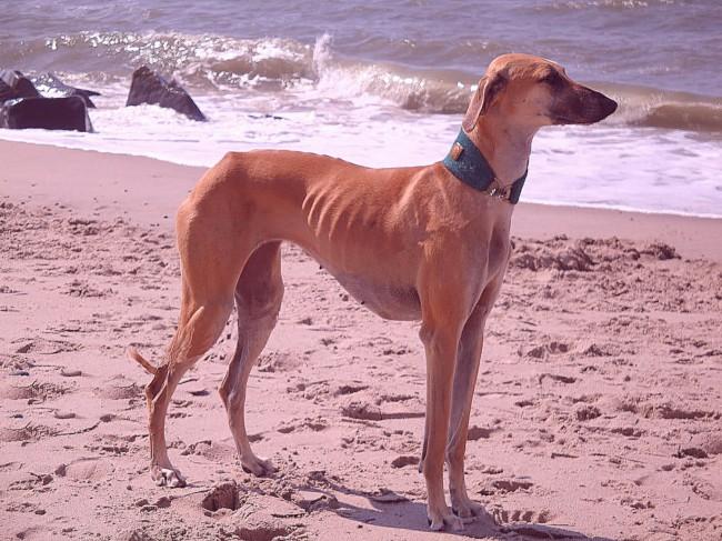Слюги фото борзой собаки