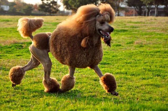 Пудель гипоаллергенная порода собак
